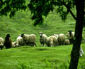 kodawari_stay02_sheep
